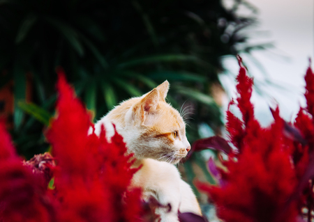 Young cat sit behind vibrant red cockcomb flower bushes with palm leaves background and starring at something
