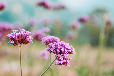Small Beautiful tiny Pink purple blooming verbena bonariensis with blur background 写真素材