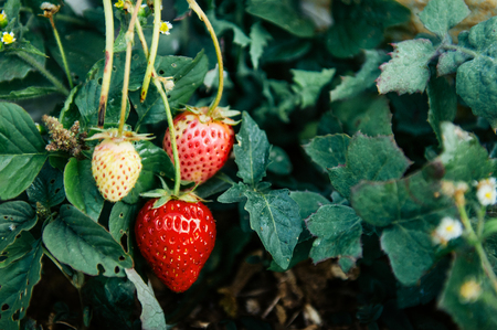 Close up shot of Young Fresh organic strawberries in strawberry farm in Chiang Mai, Thailand 写真素材