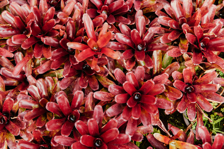 Texture of  Red Bromeliad flower in the garden with nature ground 写真素材
