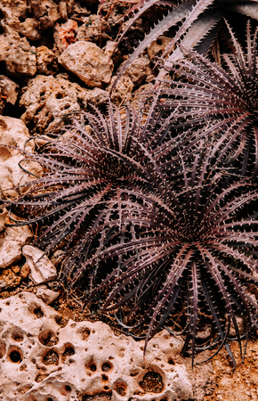 Red spike Agave aloe on desert rock ground in botanical garden 写真素材