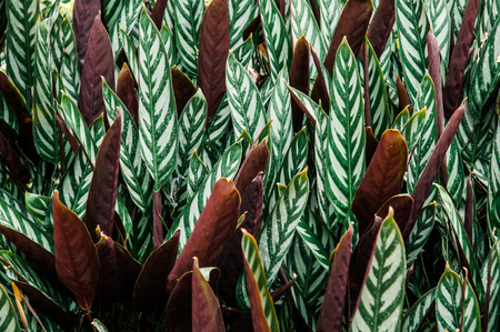 Beautiful green leaf with white stripes of Calathea majestica , tropical foliage plant nature leaves pattern