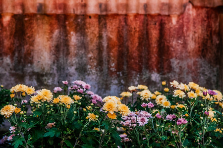 Beautiful Pink yellow blooming chrysanthemum flower with old  Galvanized iron background and copyspace