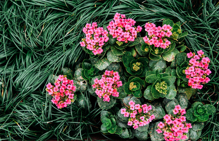 Top view shot of Beautiful pink Kalanchoe and green hoorah grass leaves