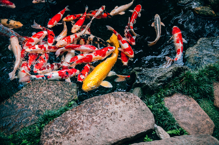 Colourful and golden Koi Carp Fish in Japanese garden pond with plants and stones top view
