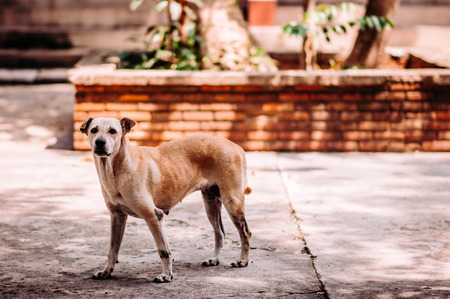 Homeless sick street dog, Rabies infection risk on abandoned mixed-breed dog