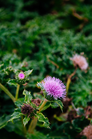 Beautiful pink Spear thistle, Silybum marianum flower from top view