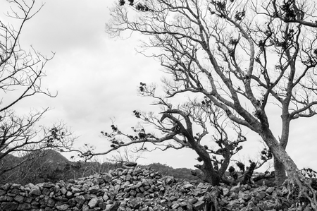 Ruin and remain of stone wall of Nakijin Gusuku castle remain with dry dead tree in black and white, Naha, Okinawa, Japan