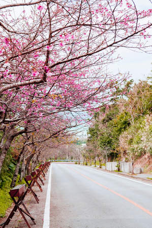 Street cover with full bloom Sakura or cherry blossom in Kouri island, Naha, Okinawa, Japan 写真素材