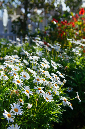 White mums flowers or chrysanthemum japonense in garden with stock stock photo white mums flowers or chrysanthemum japonense in garden with beautiful morning light in spring season mightylinksfo