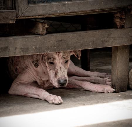 Azjatycki pies z trądem, problem ze skórą trądu chorych zwierząt, bezdomny chory pies uliczny, ryzyko zakażenia wścieklizną u porzuconego psa rasy mieszanej w Tajlandii