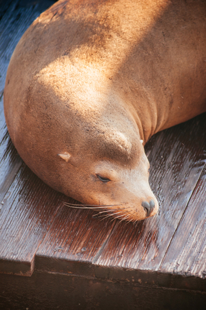 Sleeping cute sea lions at Pier 39 San francisco, California, USA. Famous attraction