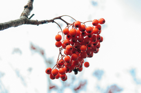 Beautiful Red Rowan berries or Mountain ash in winter on white background Stock Photo