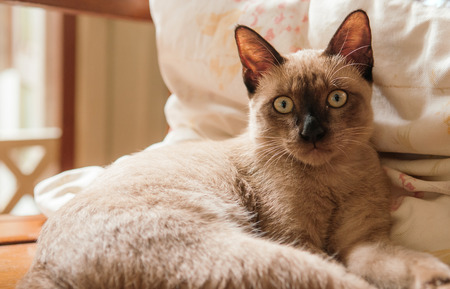 Beautiful Thai Siamese cat, brown color, dark brown ears yellow eyes lay down against pillow and looking at camera Stock Photo - 109407337