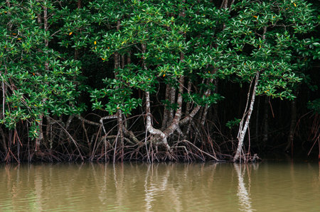 Big green magle tree in Thailand tropical mangrove swamp forest lush evergreen nature river landscape Stock Photo