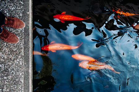 Colourful charming Koi Carp Fishes moving in pond with shadow and light reflection, Carp fishes swim under water surface Zdjęcie Seryjne
