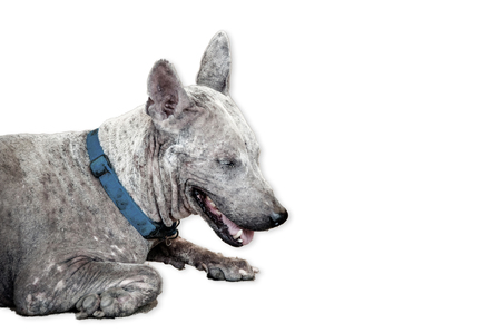 Leprosy asian dog, animal sick leprosy skin problem, Homeless sick street dog, Rabies infection risk on abandoned mixed-breed dog isolated on white background