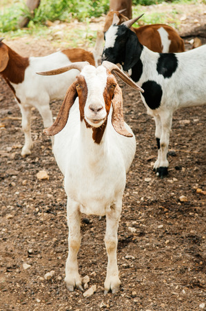 White goat with stupid cute face in rural farm - Asian local organic farm concept. Stockfoto