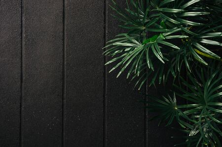 Green Bamboo palm leaves with black concrete wall dark low key tone image - Modern decoration with palnt concept