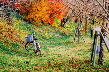 Vintage bicycle with basket on green lawn with autumn tree and colourful maple leaves