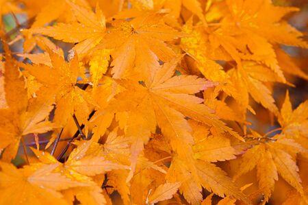 Yellow autumn seven lobes maple leaves close up detail background - Japan colourful season change concept nature scene wallpaper