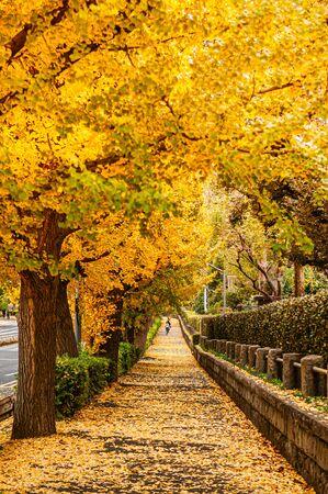 Túnel de árboles de ginkgo amarillo de Tokio cerca de la avenida Jingu en otoño. Atracción famosa en noviembre y diciembre.