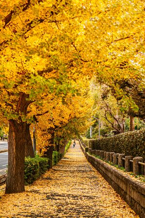 Tokyo yellow ginkgo tree tunnel near Jingu avenue in autumn. Famous attraction in November and December