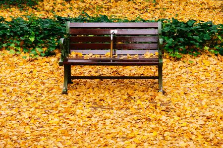 Bright yellow ginkgo leaves fully covered ground and vintage wooden bench in autumn - Beautiful season changes in park or outdoor nature space