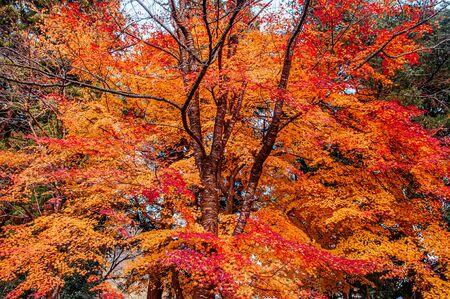 Great big beautiful vibrant colourful red orange yellow leaves foliage maple tree in autumn season in december - Yamagata, Japan