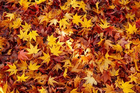 Red yellow autumn maple leaves covered ground. Beautiful Japan season change nature scene background