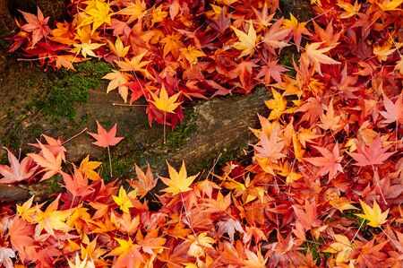 Red yellow autumn maple leaves covered ground and tree root. Beautiful Japan season change nature scene