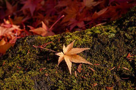 Red autumn maple leaf on green moss stone. Beautiful Japan season change nature scene