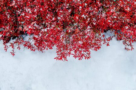 Beautiful vibrant colourful red leaves bush foliage and white frozen snow in winter season in december - Nature season change background