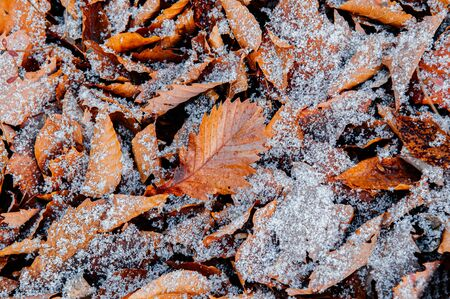 Beautiful brown dried leaves and white frozen snow in winter season in december - Nature season change background