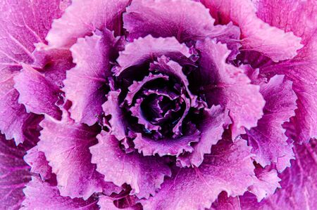 Ornamental cabbage or kale curly leaves purple pink colour close up detail top view cool tone image - Nature texture wallpaper background