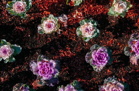 Ornamental cabbage or kale curly leaves purple pink colour on black soil under sunlight - Nature texture background