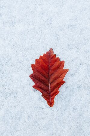 Beautiful vibrant colourful red leaves foliage and white frozen snow in winter season in december - Nature season change background 写真素材