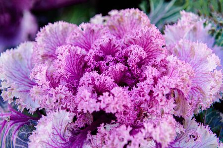 Ornamental cabbage or kale curly leaves purple pink colour close up detail side view cool tone image - Nature texture wallpaper background 写真素材