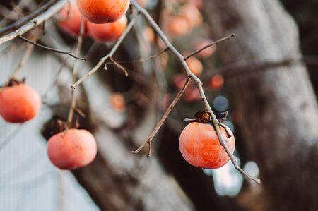 Japanese Kaki fresh beautiful organic persimmon fruits on its tree close up detail