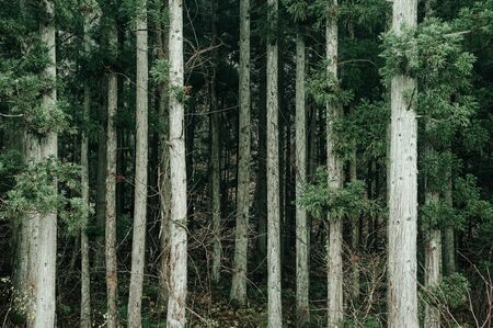 Lush green Cedar pine forest with white trunk. Pure natural forest environmental concept 写真素材