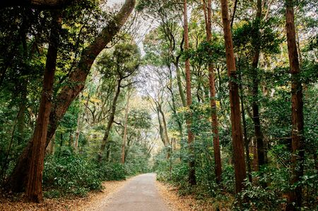 Small empty peaceful road among big trees in lush green forest at Shrine park - Tokyo green space 写真素材