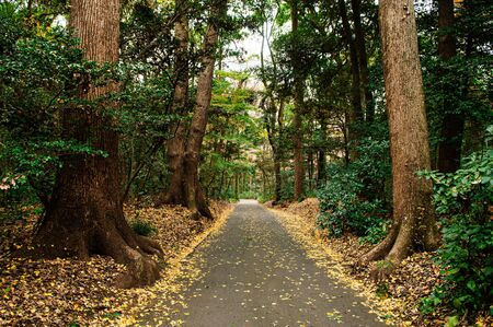 Autumn Yellow Ginkgo fallen leaves covered ground and small empty road in lush green forest at Shrine park - Tokyo green space 写真素材