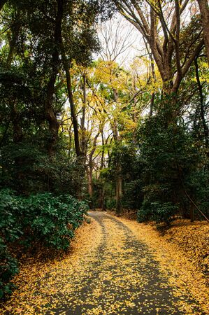 Autumn Yellow Ginkgo fallen leaves covered ground and small empty road in lush green forest Shrine park - Tokyo green space 写真素材