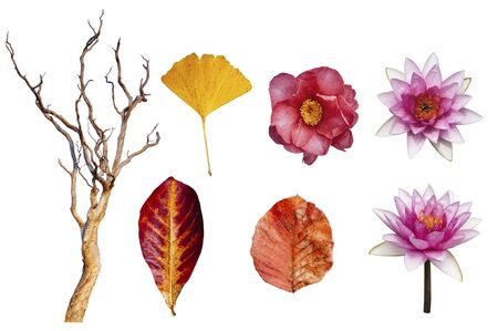 Autumn leaves and lotus, Japanese Camellia flower and beautiful dead tree isolated on white background colourful  season change concept isolate leaves for design work
