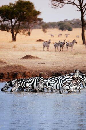 Herd of African zebra drink water from river in golden grass meadow