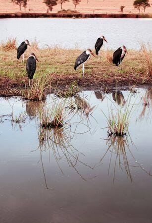 African Marabou stork birds near swamp pond of Serengeti Grumeti reserve Savanna forest - African Tanzania Safari wildlife trip during great migration
