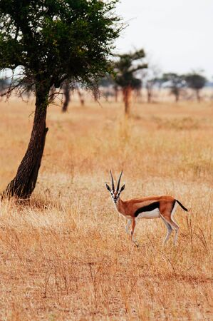 One African Gazalle in golden grass meadow of Serengeti Grumeti reserve Savanna forest - African Tanzania Safari wildlife trip during great migration