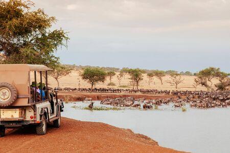 African Tanzania Safari trip wildlife watch tour - Herd of African wildebeest in golden grass meadow near river of Serengeti Grumeti reserve Savanna forest in evening during great migration