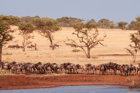 Herd of African wildebeest in golden grass meadow near river of Serengeti Grumeti reserve Savanna forest in evening - African Tanzania Safari wildlife trip during great migration