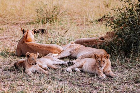 Female Lion and young lions lie on ground staring at camera. Serengeti Grumeti reserve Savanna forest - African Tanzania Safari wildlife trip during great migration
